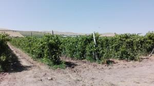 Un passeig entre vinyes com a casa, com al nostre estimat Penedès, però avui entre Hisor i Tursunzoda, Tadjikistan
