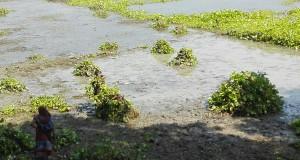 Aquestes plantes que suren damunt l'aigua també s'aprofiten. Per variar, no sabem ni com, ni per què