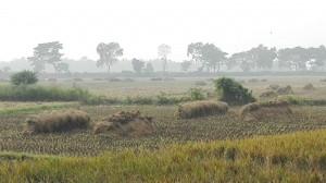 Camps d'arròs tallats i a punt per recollir
