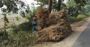 Recol·leccio dels feixos d' arròs