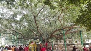 L'arbre sagrat dels budistes