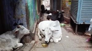 A part dels mini carrerons, també ens trobem amb les senyores vaques 'sagrades' que jeuen tranquil·lament per allà on volen