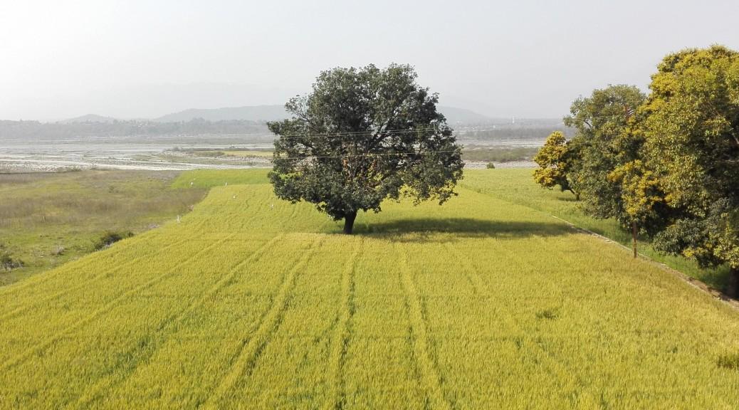 Majestuós arbre al mig d'un camp de blat i a tocar del riu Yamuna que aquí fa frontera entre els estats Uttarakhand que deixo i Himachal Pradesh on entro