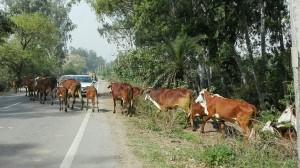 Per molt que sigui una carretera força transitada la preferència està sempre clara, i és per les sagrades vaques
