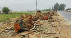 El drama del mal anomenat 'progrés'. Una massacre d'arbres al més pur estil de Birmània. Això és un crim i ens fa caminar com dins un cementiri, fent-nos sentir molt tristos