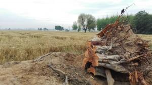 Blat a punt de collir, i els ocellets encara s'atansen a les branques del que potser havia estat casa seva