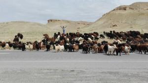 Ramaders fent creuar la carretera al seu ramat
