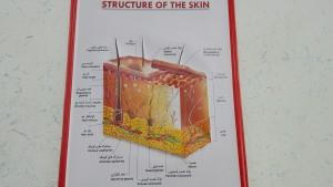 Per qui vulgui veure una mica d'anatomia comparant anglès i farsi