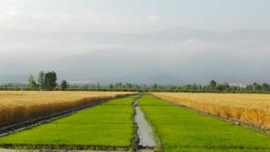 Després de molts dies i quilòmetres de blat per tot arreu, ara l'arròs es va obrint pas a poc a poc