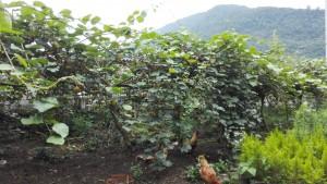 Kiwis, muntanya i pollastres