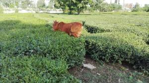 Vaca pasturant a plantació de te. Gràcies a ella avui hem trobat un molt bon lloc per dormir