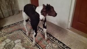 Vaca real dissecada amb 2 caps
