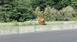 Sorprenentment trobem una vaca pasturant a sobre el mur divisori de l'autopista. Com ha arribat allà? Com està tranquil·la, sense lligar, entre tot el tràfic?