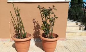 Els rosers salvats, guardats a les torretes i a punt de tornar a ser trasplantats a la seva casa definitiva on podran fer-se grans, sans i donar moltes roses