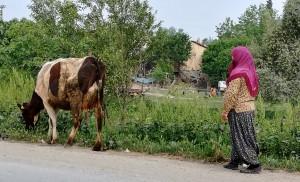 A Kozan, la senyora porta a pastar la vaca pel poble