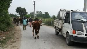 A Kozan també, uns altres veïns porten a pastar unes quantes vaques fora el poble, causant un petit embús de trànsit. I a més, la furgoneta de la dreta és el lleter, qui va recollint llet dels veïns!