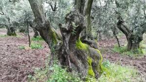 Oliveres. Un mar d'oliveres moltes de les quals són veritables obres d'art de la natura