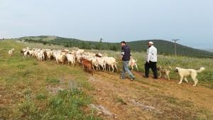 Portant les cabres a pasturar