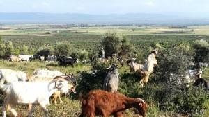 Per aquí portem les cabres a pasturar mentre nosaltres gaudim de bones vistes