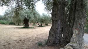 Precioses oliveres