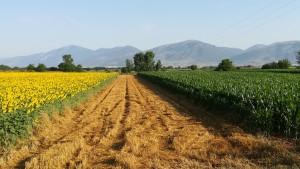 Tres principals conreus. Blat, que, o ja està collit, o està a punt, blat de moro en un estat creixent i un color molt verd i els tornasols amb un espectacular color groc que es veu de ben lluny