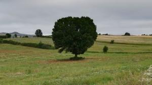 Un preciós arbre