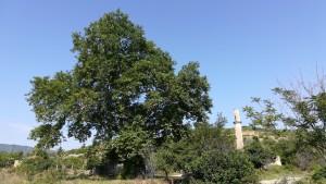 A Besvica admirem aquest arbre de 500 anys i trobem vestigis del imperi otomà en forma de les restes d'un minaret
