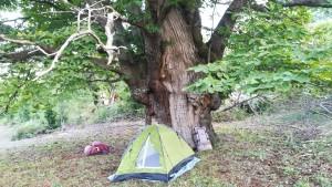 Acampem, homenatgem i gairebé venerem arbres com aquest. Són joies i meravelles de la natura. Aquests castanyers poden arribar a fer 500 anys i 30 metres d'alçada