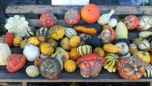 Una bonica col·lecció de carbasses a la venda