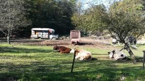 Grans vaques prometedores de molts litres de felicitat i ruscs d'abelles a antic camió