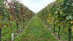 Vinyes, vinyes i més vinyes