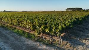 Planter de ceps. Petits ceps per crear noves vinyes