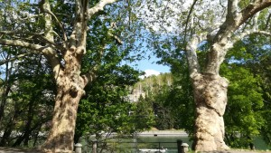 Preciosos i majestuosos arbres que deixen entreveure el riu Po al parc Valentino
