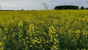 Un camp ben groc