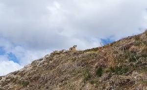 Veiem marmotes que corren per amagar-se dins els seus caus soterranis