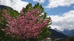 Floració espectacular amb pics nevats de rerefons