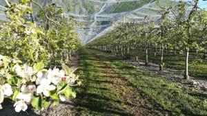 Arbres fruiters en flor